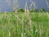 Gräser auf einer Wiese im Hintergrund Gewitterstimmung und Bäume