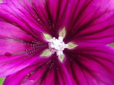Foto einer violetten Malvenblüte