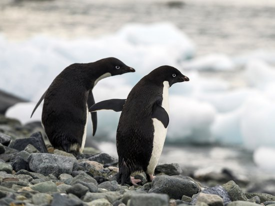 Pinguine, Antarktis